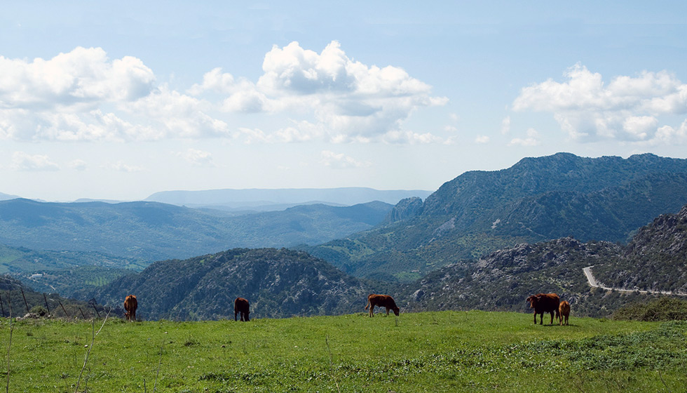 Bulls with a view, La Sierra de Grazalema