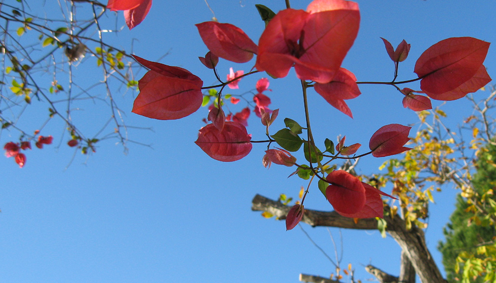 Bougainvillea lights up an autumn day