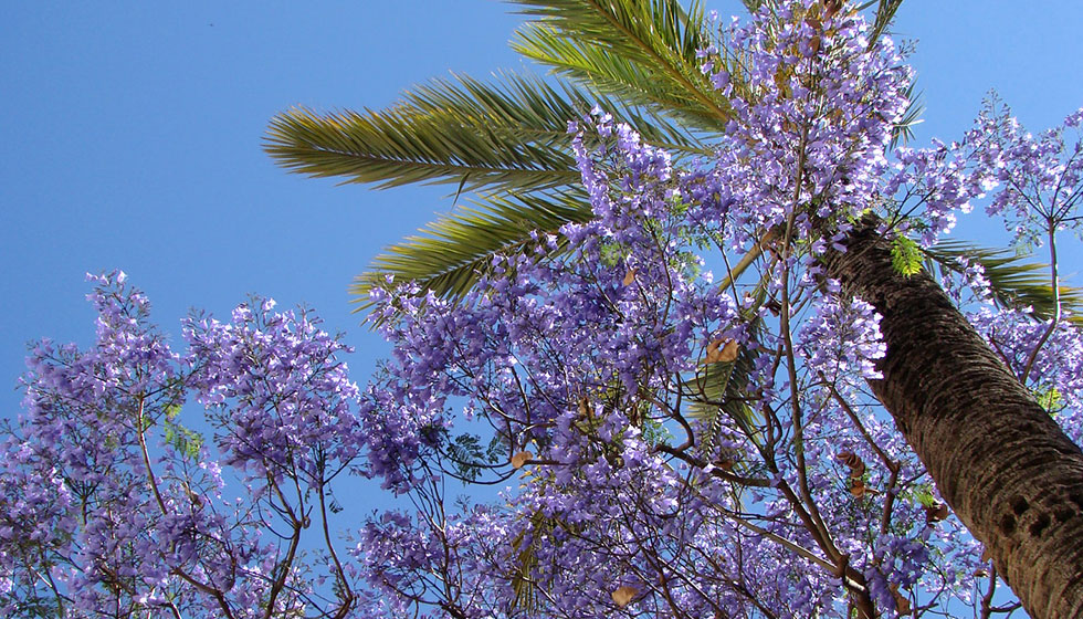 Spring arives with the beautiful jacaranda trees in full bloom